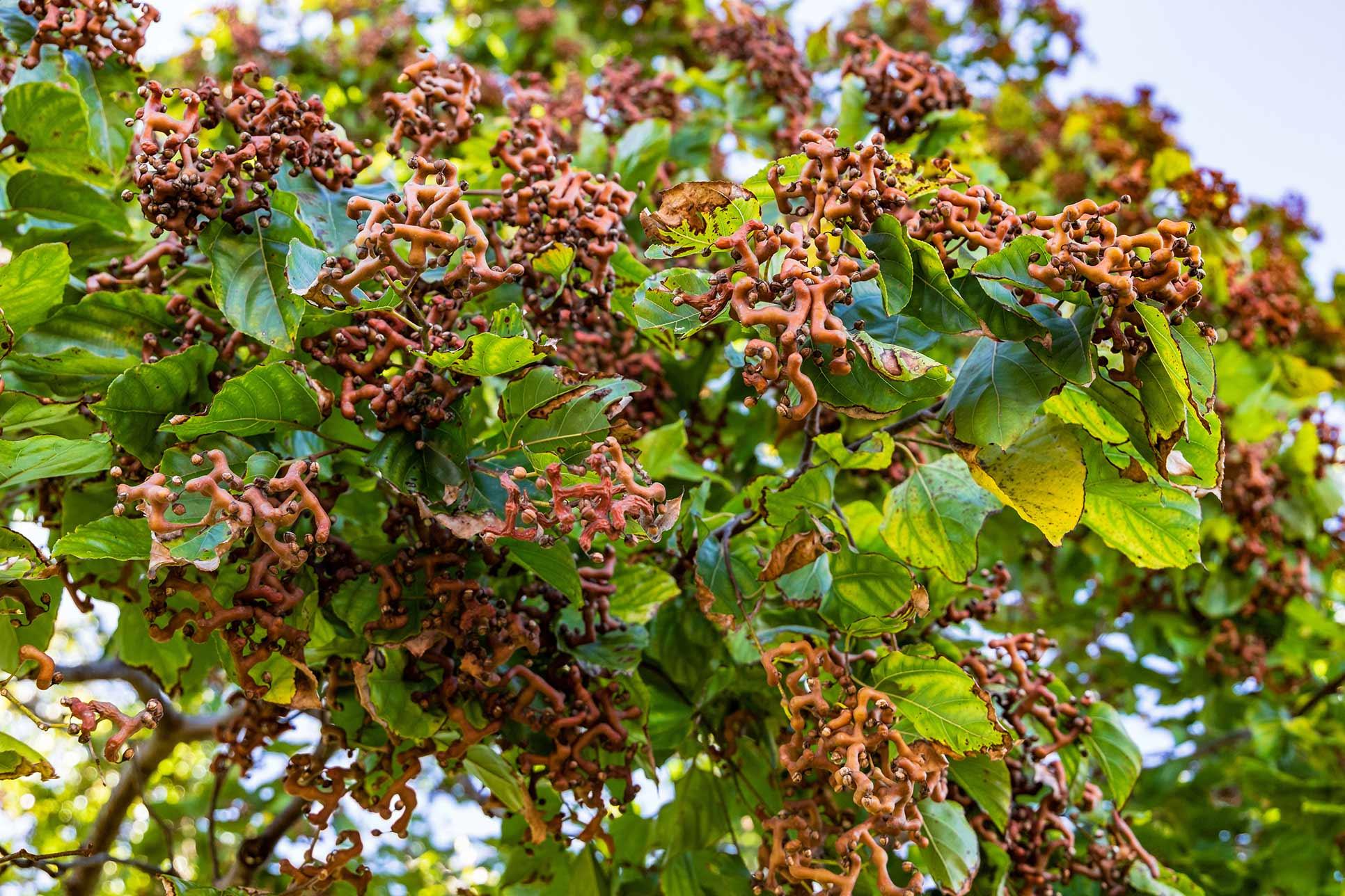 Hovenia Dulcis- Japanese Raisin Tree